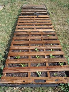 lettuce pallet garden