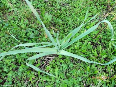 Σκόρδο άγριο-Allium sativum