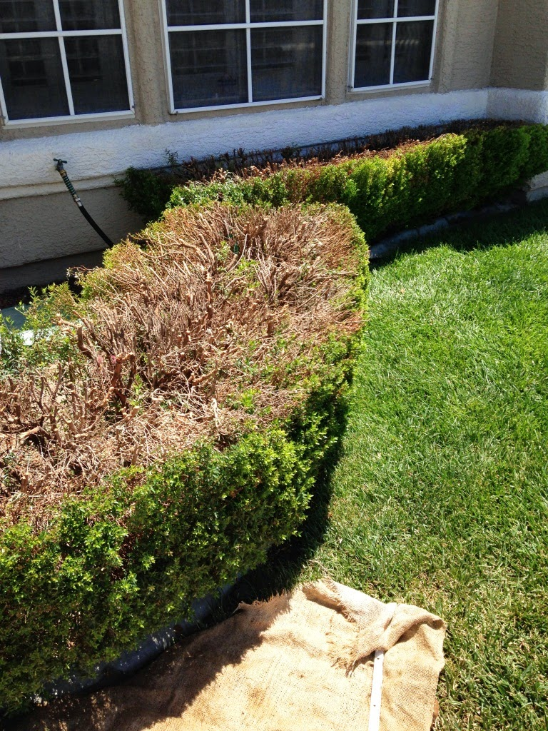 Xtremehorticulture of the Desert: Pruning Boxwood and Rosemary ...