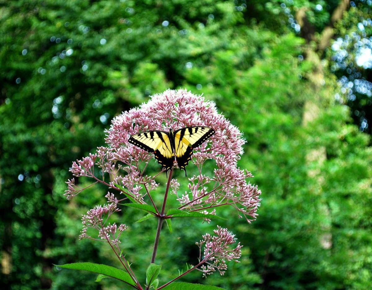 Joe--Pye Weed Eupatorium purpureum