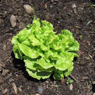 tom thumb butterleaf lettuce