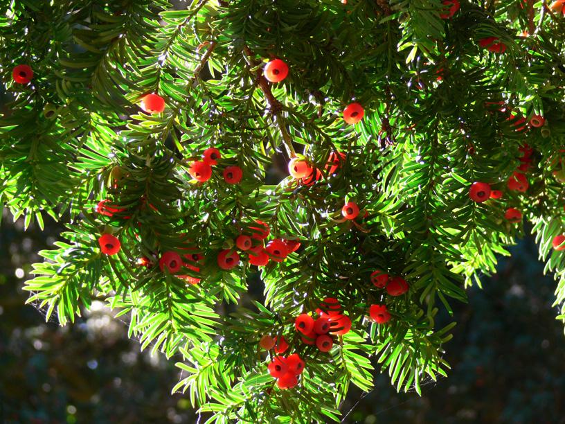Raw Edible Plants Yew Taxus Baccata