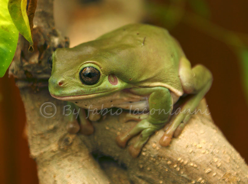Green photo web agency australia 39 s native frogs beat for Frog agency