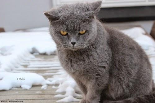 Photo chat chartreux gratuit et drôle