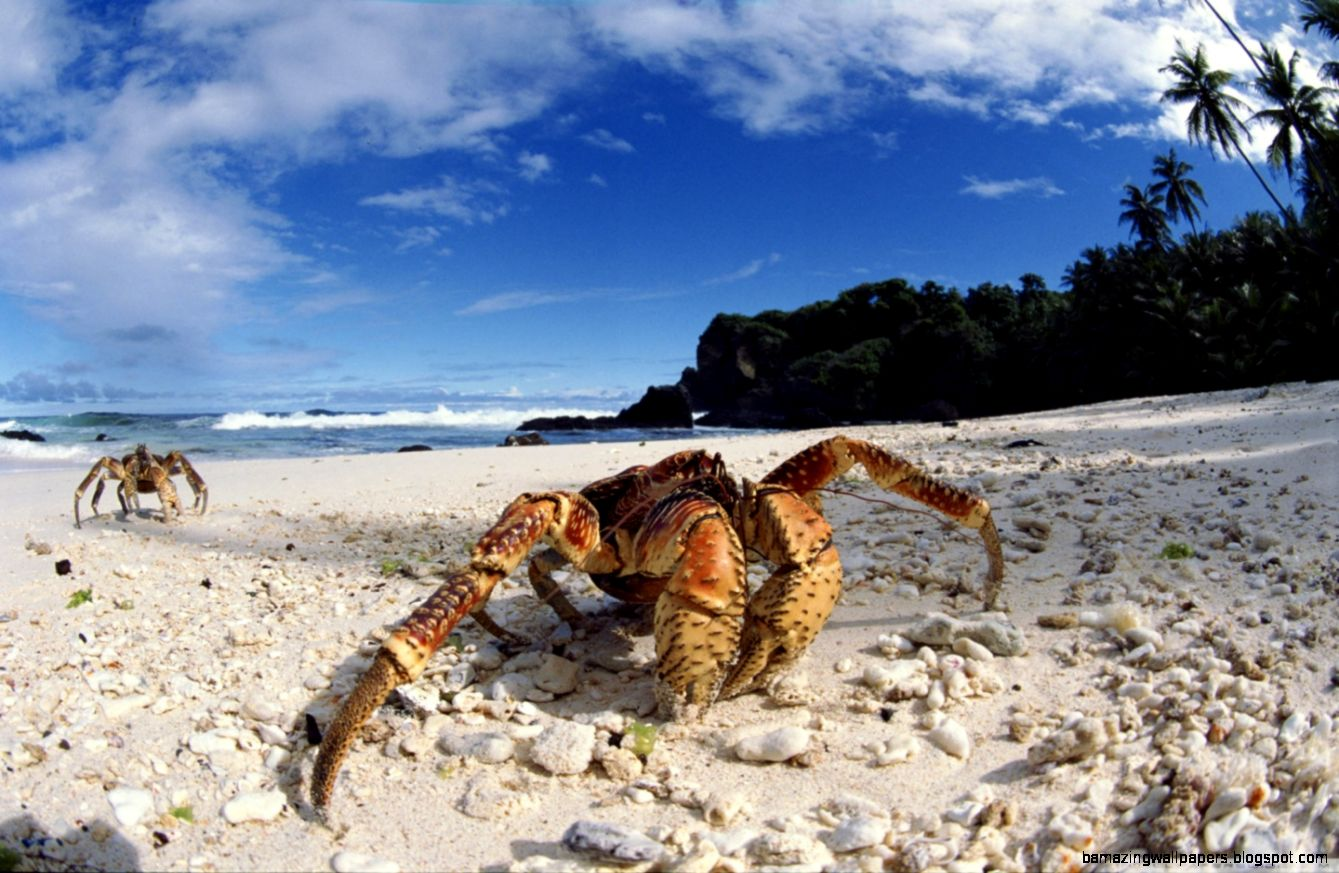Coconut Crab On Beach Christmas Island Indian Ocean HD desktop