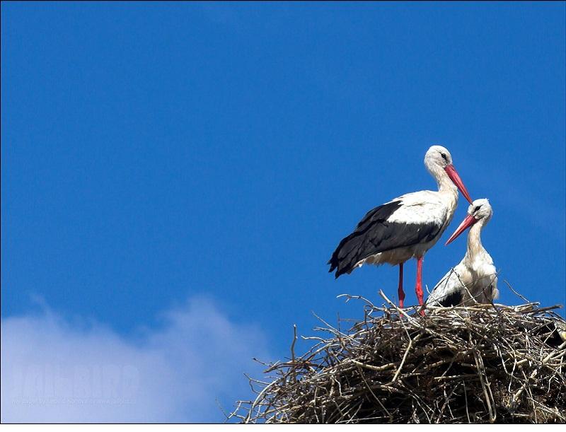 stork bird collections hd desktop wallpaper collections