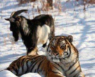 Туры к тигру и козлу в Приморье для китайских туристов