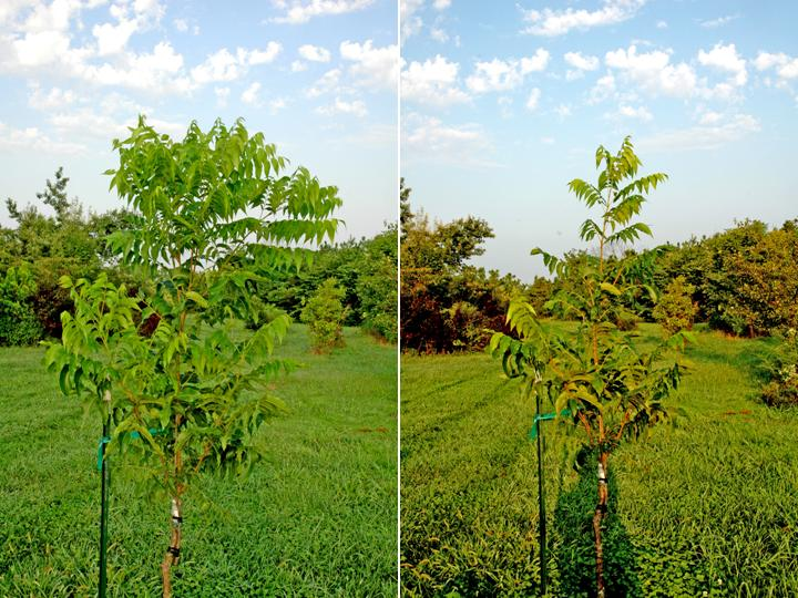 pecan tree essay Pecans 1 yr 2-3+ ft the tree grows quickly and is widely adaptable to many soils a higher yielding pecan tree that has high disease-resistance to.