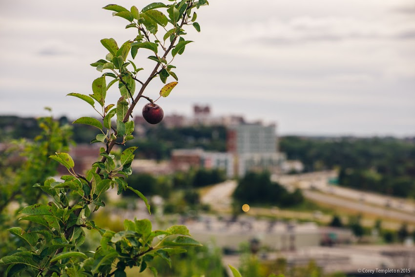Portland, Maine USA October 2015 Apple tree off of North Street planted by East End School. Photo by Corey Templeton.