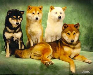 Shiba Inu Colors