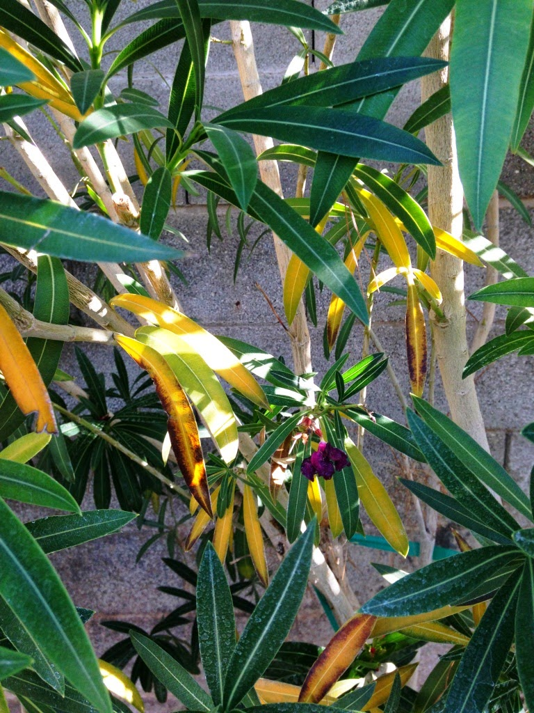Xtremehorticulture Of The Desert Why Do My Oleanders Have Yellow