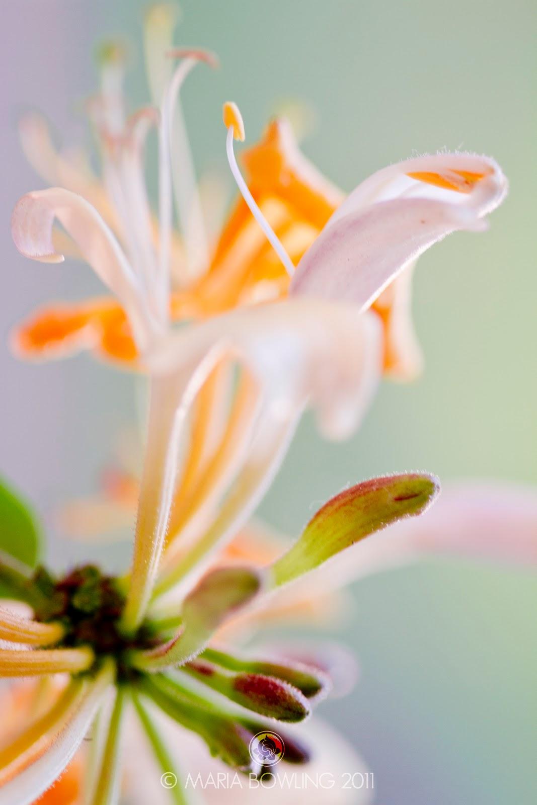 Pretty Medicine Honeysuckle Flowers Jin Yin Hua