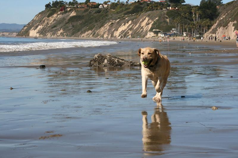 Labrador Cooper Hendrys Beach Santa Barbara