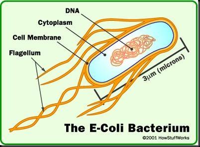 Bacteria diagram e coli images bacteria diagram e coli diagram of e coli ccuart Image collections