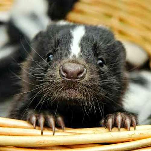 Smiling Skunk: cute skunks