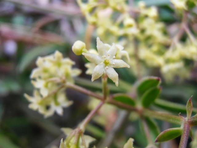 Flor de RUBIA: Rubia peregrina