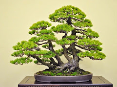 KOLEKSI BONSAI