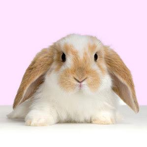 ATENÇÃO. Apareceu na rua um coelhinho. Provavelmente um descarte de Páscoa. (maio/2012)