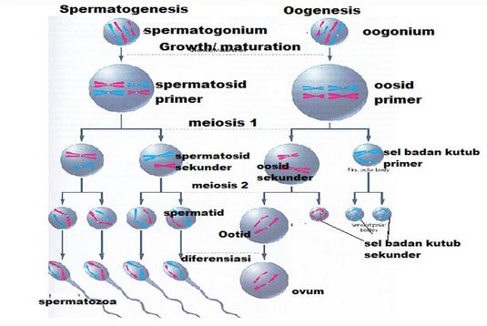 Pengertian Spermatogenesis, Oogenesis dan Gametogenesis