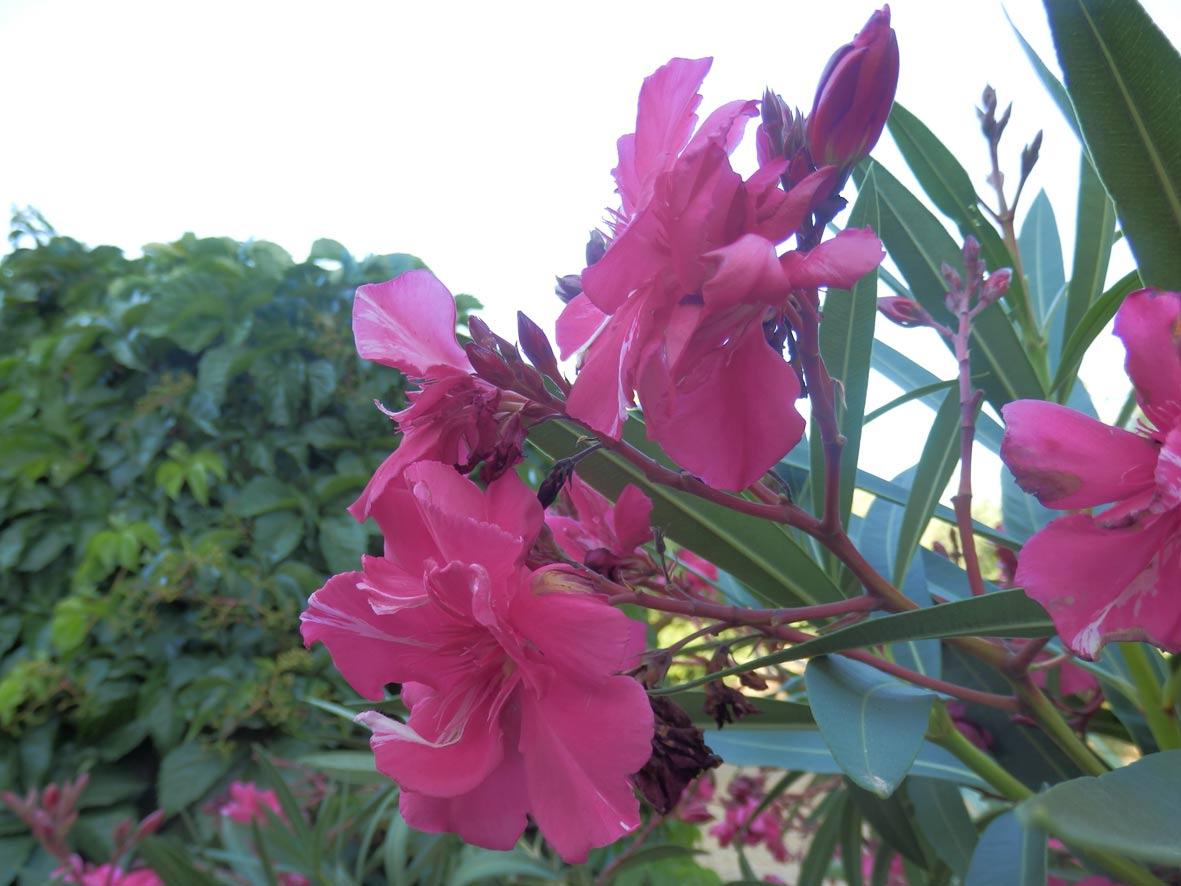 "Nerium oleander ""florepleno"""