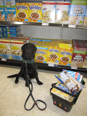 5 month old black lab Romero is sitting in the cereal aisle at the grocery store in front of the shelves packed with Rice Crispies, Shreddies, and Mini Wheats. Romero is wearing his green Future Dog Guide jacket, a blue collar, and black leash. He looks very focused, staring straight towards the camera, but his right back leg is sprawled out to the side in a cute puppy sit position. Beside Romero is a black plastic grocery basket piled high with groceries, including a box of shreddies, a carton of milk, and a bag of nacho chips. This was the first time Romero accompanied me for a full grocery shopping trip and he did fabulously!