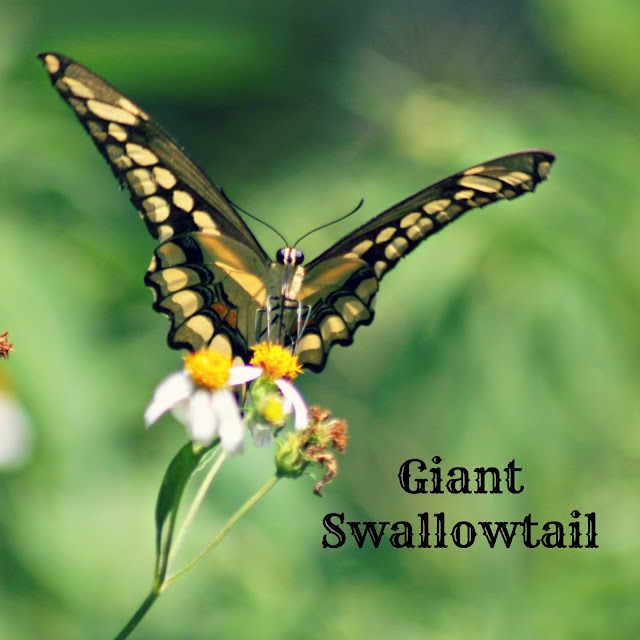 butterflies, butterfly, giant swollowtail butterfly, swallowtail, florida butterfly