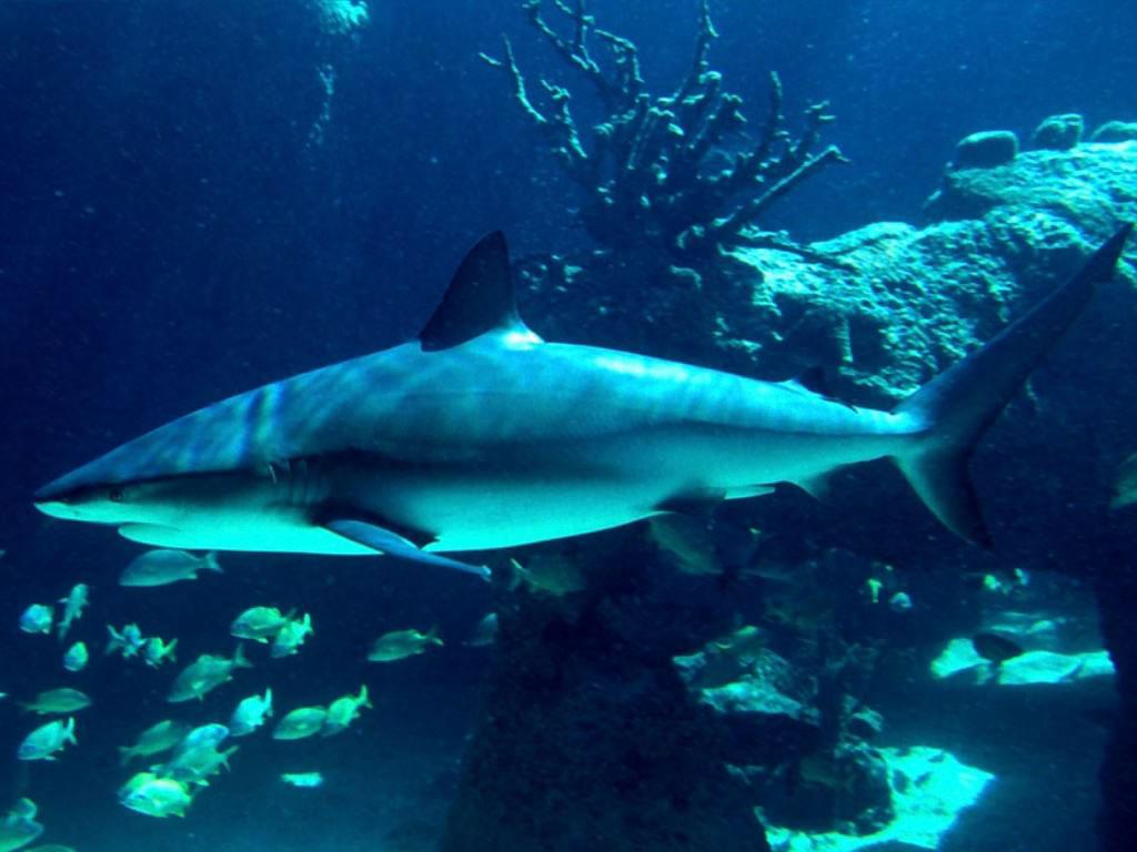 http://3.bp.blogspot.com/-_y1bFutVqZQ/TnrNLjIkRmI/AAAAAAAAAfA/8ainZBOtF44/s1600/shark-background-17-766785.jpg
