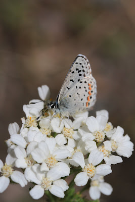 Plebejus idas - Northern Blue [Ventral View] on Achillea millefolium - Yarrow