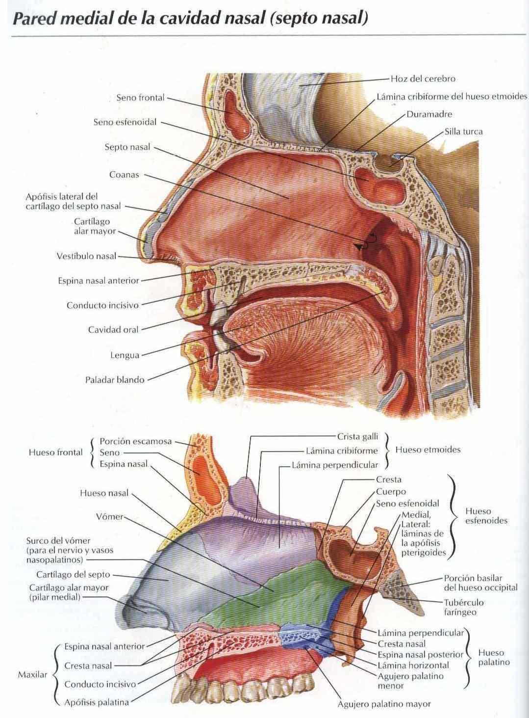 pared media de la cavidad nasal septo nasal salud vida