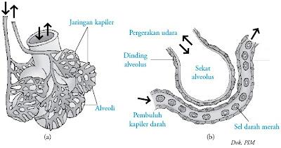 Mekanisme pertukaran gas pada alveolus