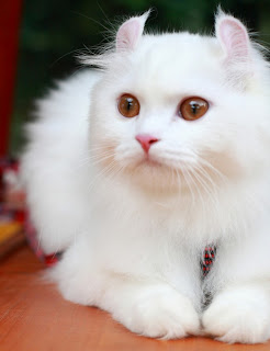 American Curl Cat Pictures