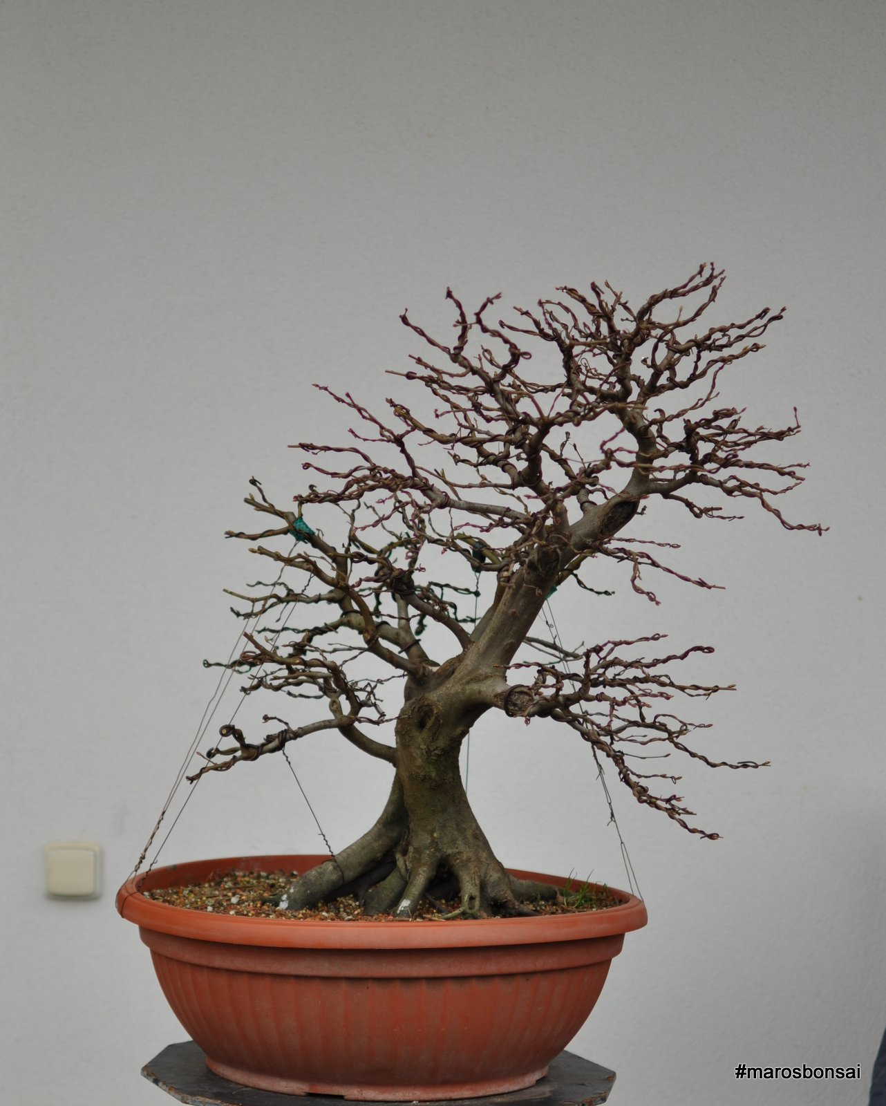 Maros Bonsai Blog Story Of My Bonsai Tree Hornbeam No3 Gemini
