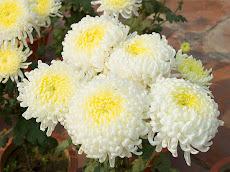Crisantemos