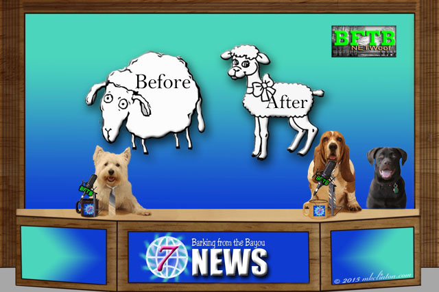 News desk with sheep before shearing and after