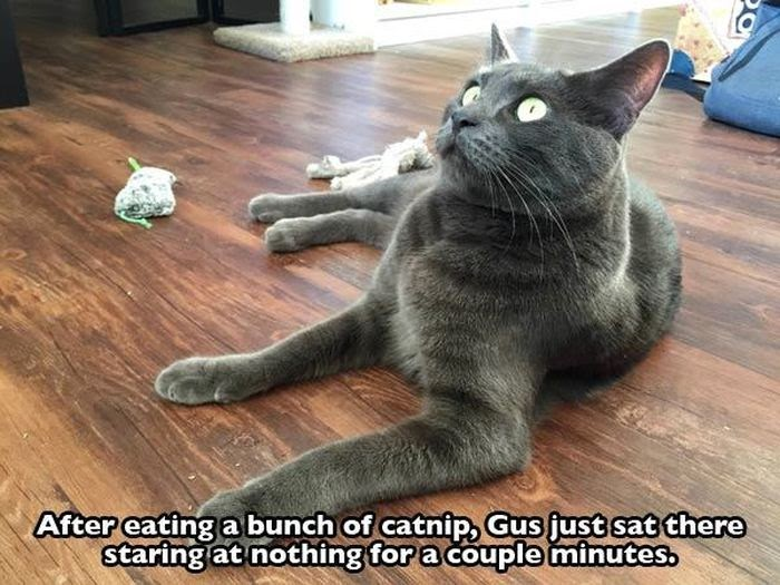 Can Dogs Get High On Catnip