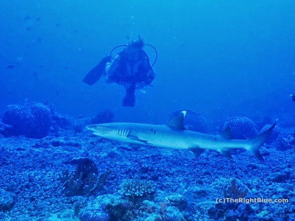 Diver with Whitetip Reef Shark (Triaenodon obesus)