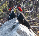 Pileated Earth Day Dance