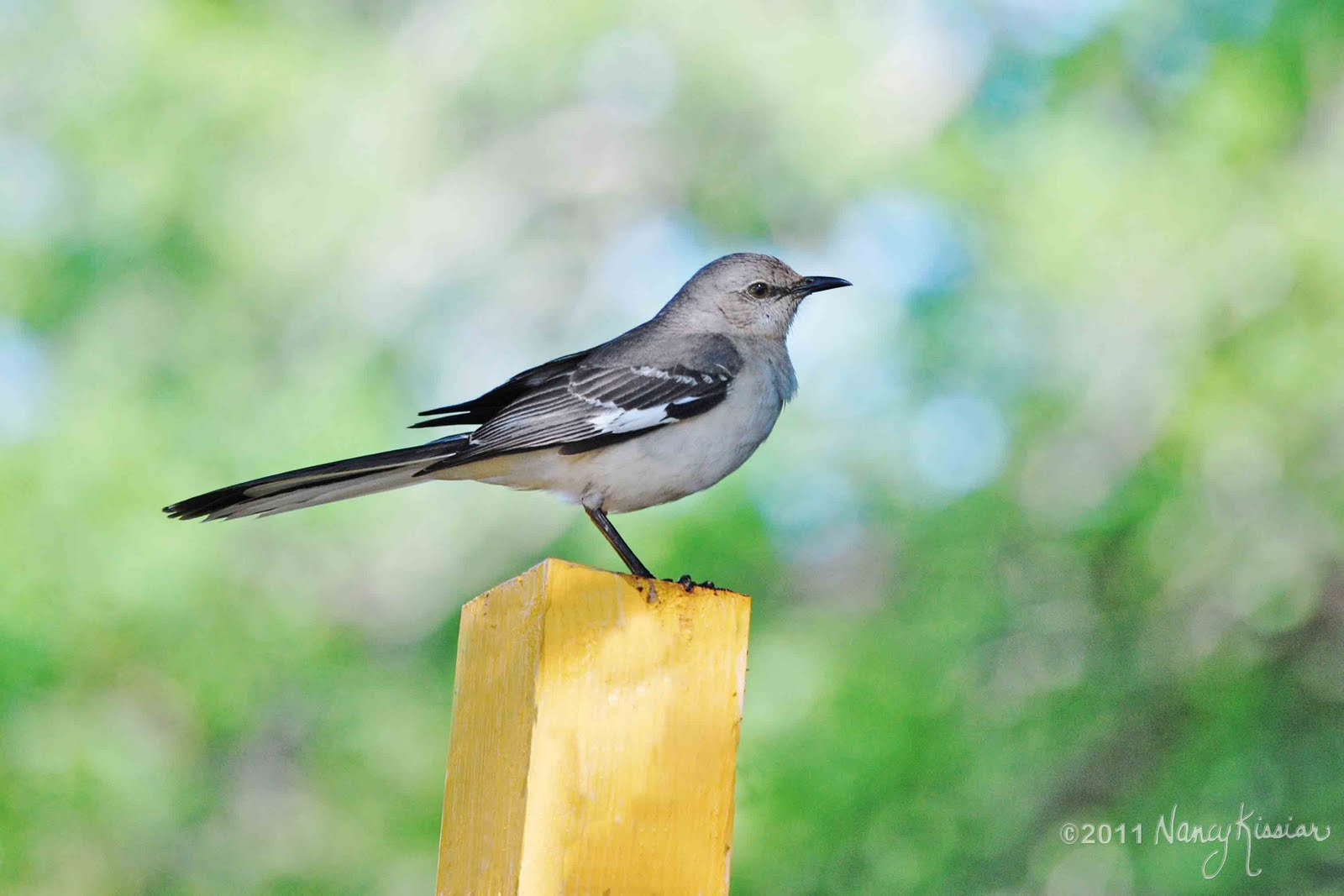 the official state bird of texasthe mockingbird