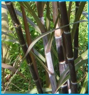 Jual bibit tebu hitam | macam-macam tanaman | suplier tanaman