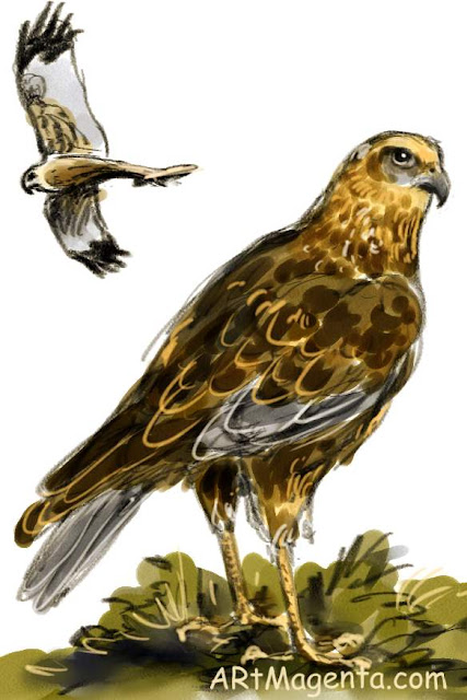 Marsh Harrier is a bird drawing by artist an illustrator Artmagenta