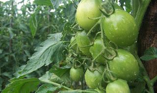 Panduan teknis budidaya tomat