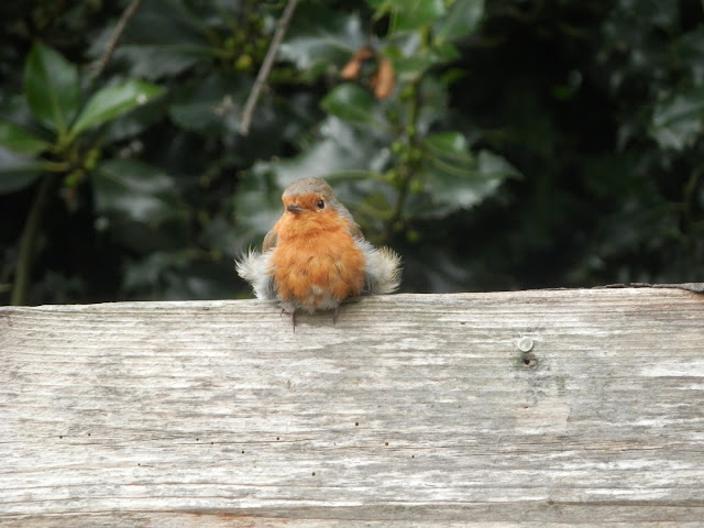 Fluffy robin.  secondhandsusie.blogspot.co.uk
