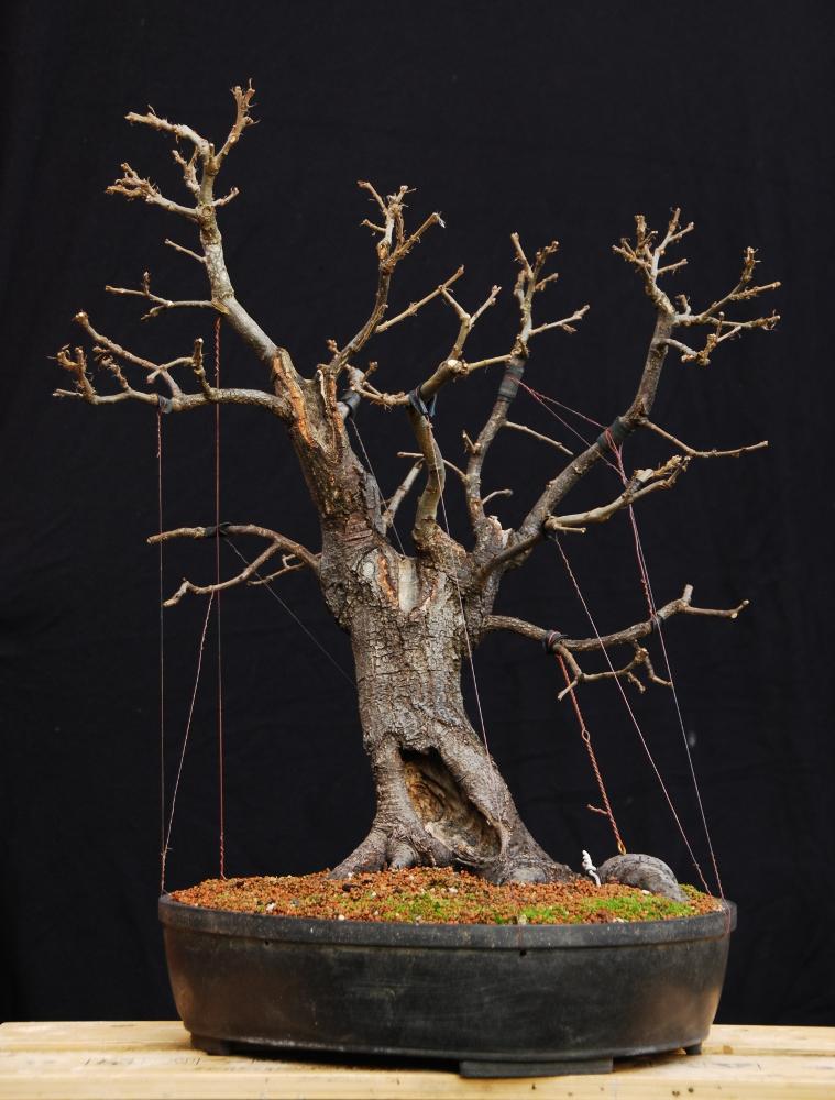 silva naturalis naturalistic oak bonsai with guy wires rh silvanaturalis blogspot com