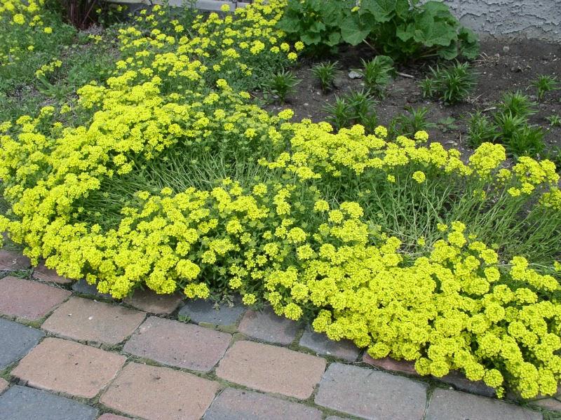 Arte y jardiner a plantas perennes cobertoras para for Plantas para rocallas
