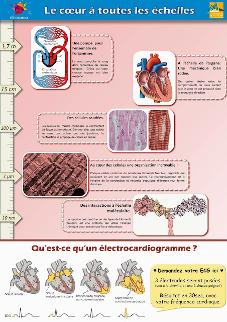 coeur ECG echelle, organe cellule, circulation sang