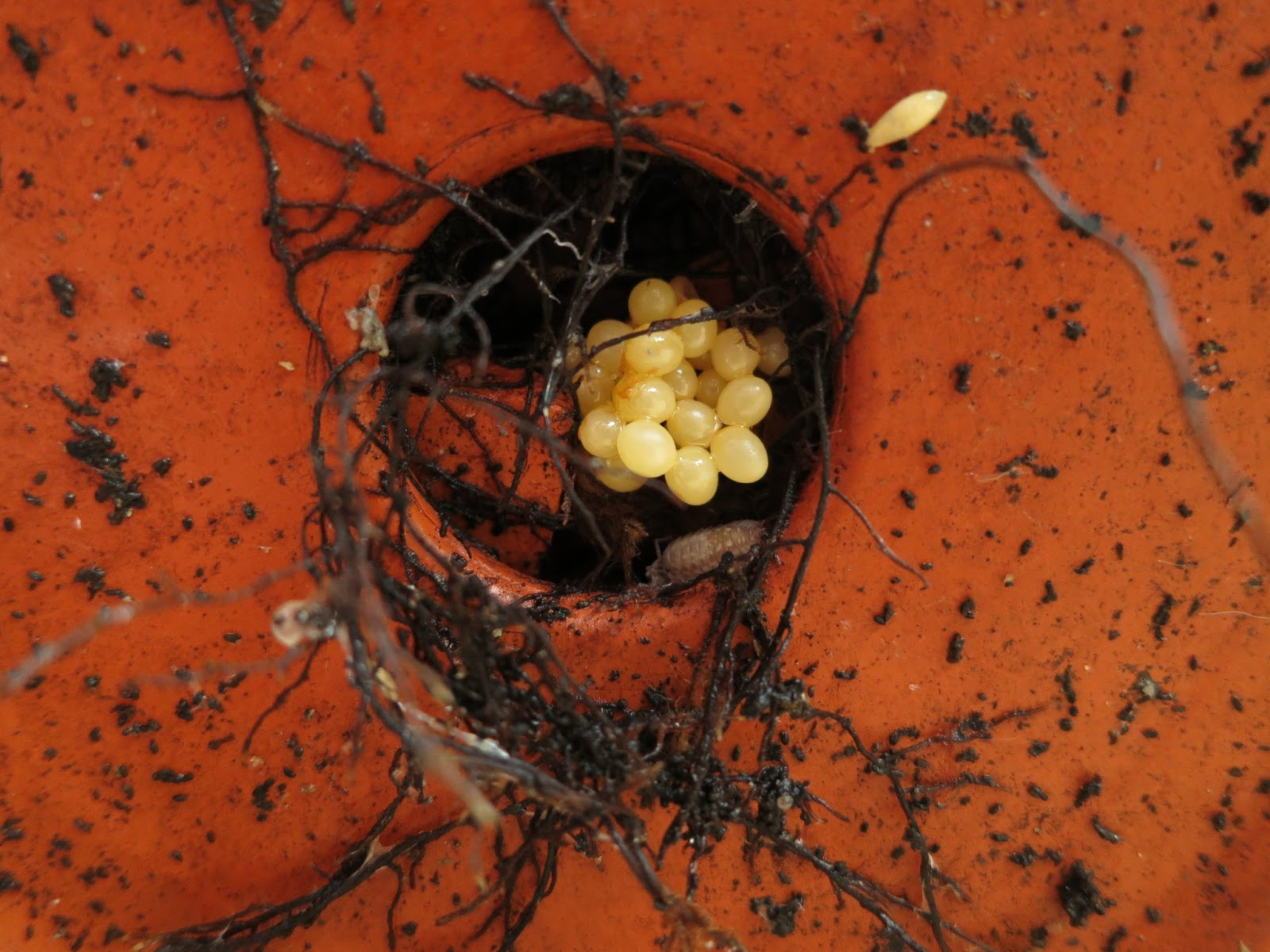 Eggs of slugs or snails in the base of a terracotta pot with woodlouse