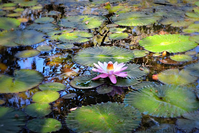 flowers, pond, lily pads