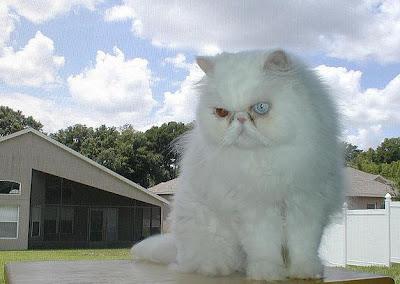 foto kucing persia putih bermata odd eye bernama Dr. Benway