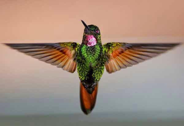 Foto Burung Kolibri Manggar Terbaik