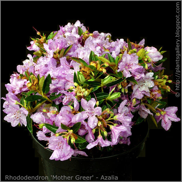 Rhododendron 'Mother Greer' - Azalia 'Mother Greer'